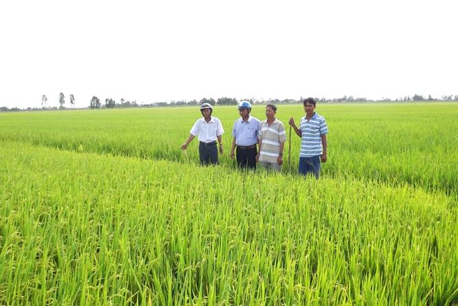 Từ việc bón xi măng cho lúa Nhìn lại việc quản lý dinh dưỡng cho cây trồng