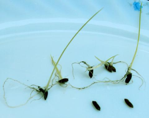 Hạt thóc 3.000 tuổi nảy mầm