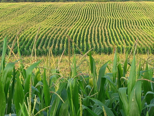 Diện tích trồng lúa năm 2016 sẽ giảm khoảng 100.000 ha