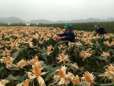 Việt Nam trong trận đồ cây biến đổi gien