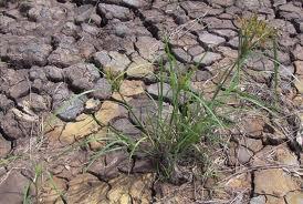 Đất phèn và việc bón cải tạo